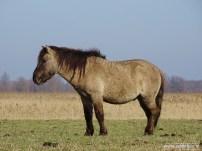 201902_koniks wilde paarden lauwersmeer 08
