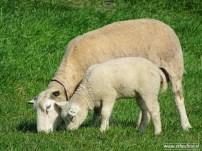 schapen met lammeren_02