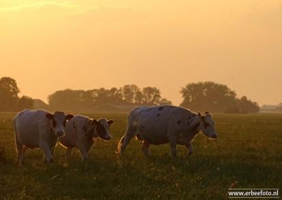 Koeien Avond van Starkenborghkanaal 01