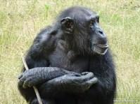 Burgers Zoo - Chimpansee 01