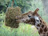Burgers Zoo - Giraffe 02