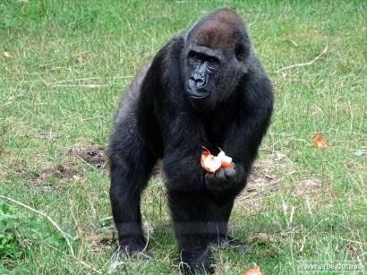 Burgers Zoo - Gorilla 02
