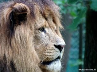 Burgers Zoo - Leeuwen 03