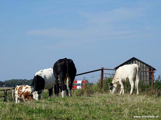 Koeien op Dijk bij Electra