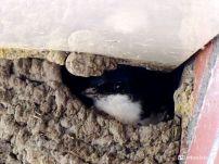 Huiszwaluw op het nest