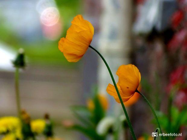 Klaprozen in de tuin