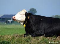 Koe op dijkje