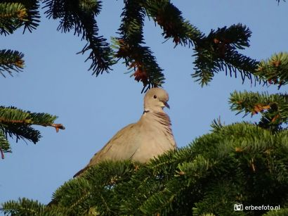 Turkse Tortel in een boom