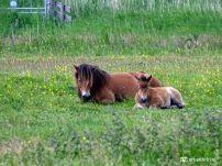 Konikpaard met veulen, De Grote Wielen, Leeuwarden