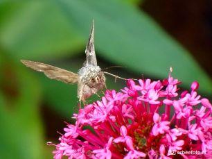 Gamma-Uil Vlinder