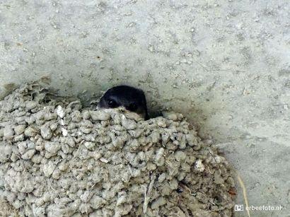 Jonge Huiszwaluw op nest