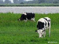 Koeien, Lauwersmeer