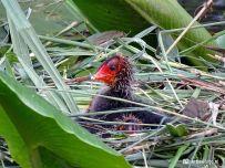 Jonge meerkoet kuiken op nest