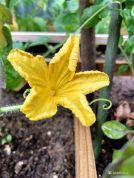 Komkommer in bloei in de moestuin