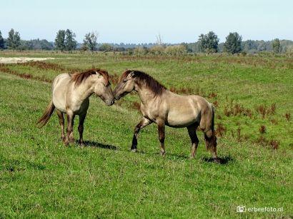 Konikpaarden Kollumerwaard