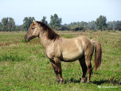 Vechtende Konikpaarden Kollumerwaard - de Winnaar