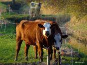 Koeien Zuidhorn (Zuiderweg)