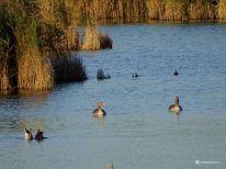 Grauwe Ganzen Vogelkijkhut de Baak Lauwersmeer