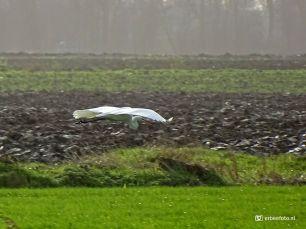 Zilverreiger (in vlucht - Noordhorn)