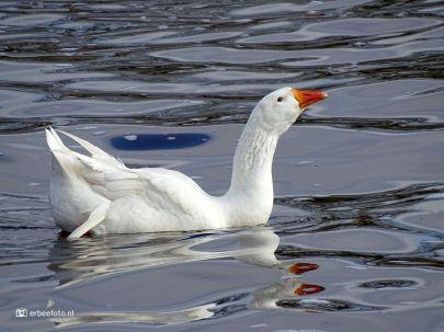Witte Gans van Starkenborghkanaal 02_ErBeeFoto