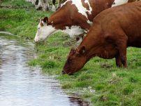 Koeien in het land, Westerkwartier