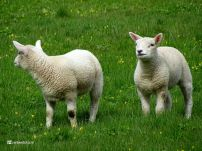 Lammetjes bij Zuidhorn