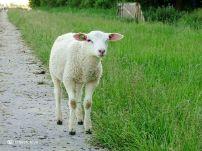 Lammetje op het pad bij Den Ham