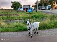 Geitje bij Zuidhorn