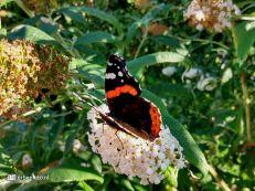 Vlinderstruik - Atalanta