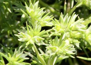 Scleranthus-fiore-di-bach