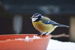 Kék cinege a madáretetőn