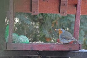 Vörösbegy a madáretetőben