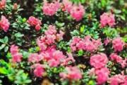 Rododendron mezők