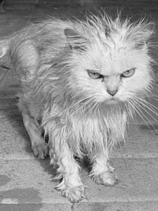 angry wet cat pets