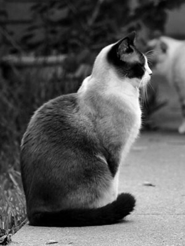 guard cat pets e