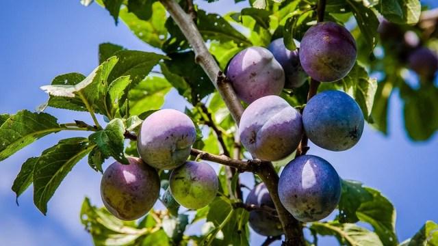 Молдавия просит увеличить квоты на поставку слив в ЕС