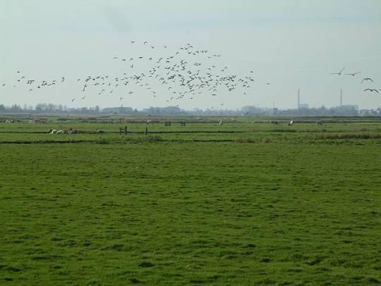 Weidevogels bij De Woude