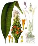 Curcuma_longa_-_K%C3%B6hler%E2%80%93s_Medizinal-Pflanzen-199.jpg