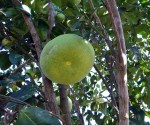 grapefruit-272634_640(1).jpg