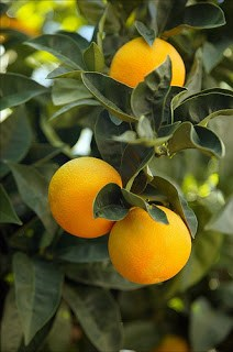 Orange amer, citrus