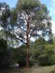 Eucalyptus_radiata.jpg