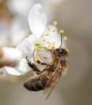 abeille10.jpg