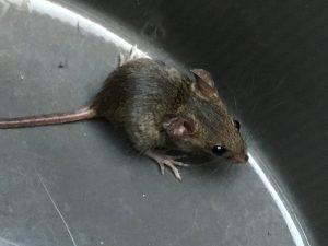 捕まえたネズミ