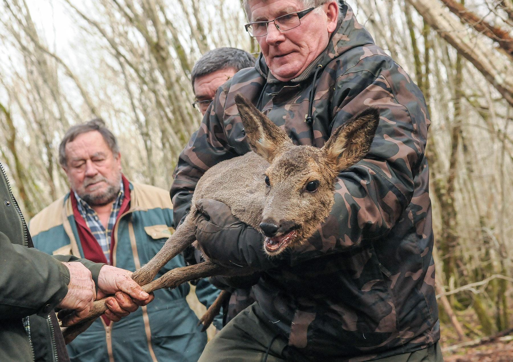 16 février. À la demande du CNRS, à Chizé, les grands mammifères sont capturés par une armée de chasseurs. Auscultés puis remis en liberté, ce jeune chevreuil en sera quitte pour une belle frayeur.