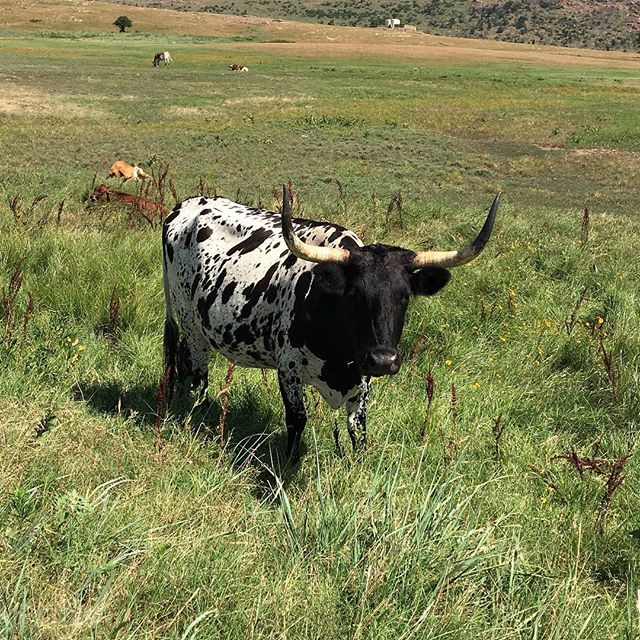 Another longhorn near holy city