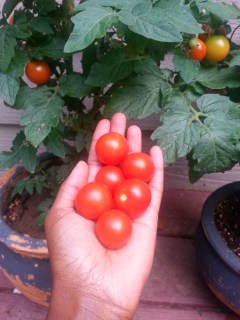 organic grape tomato plants  in patio garden