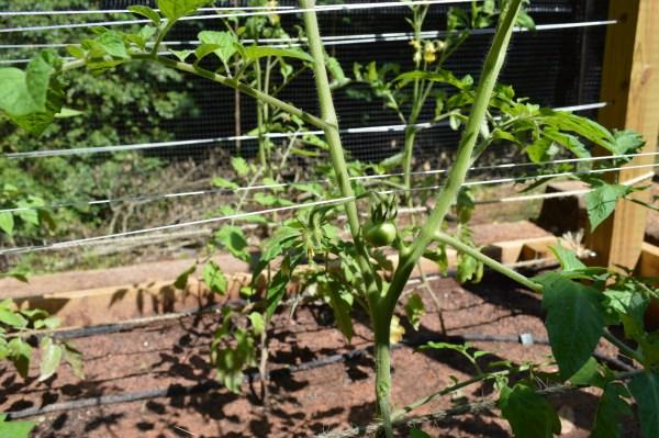 tomato trellis using twine