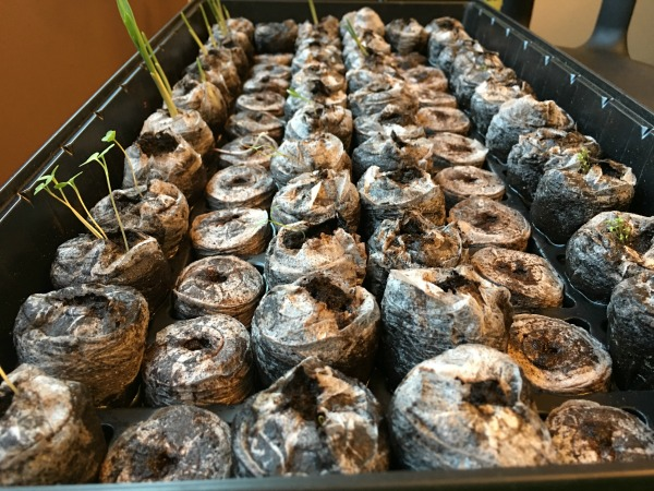 jiffy peat seed starter pots