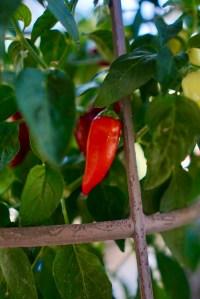 Garden jalapeño © 2018 ericarobbin.com
