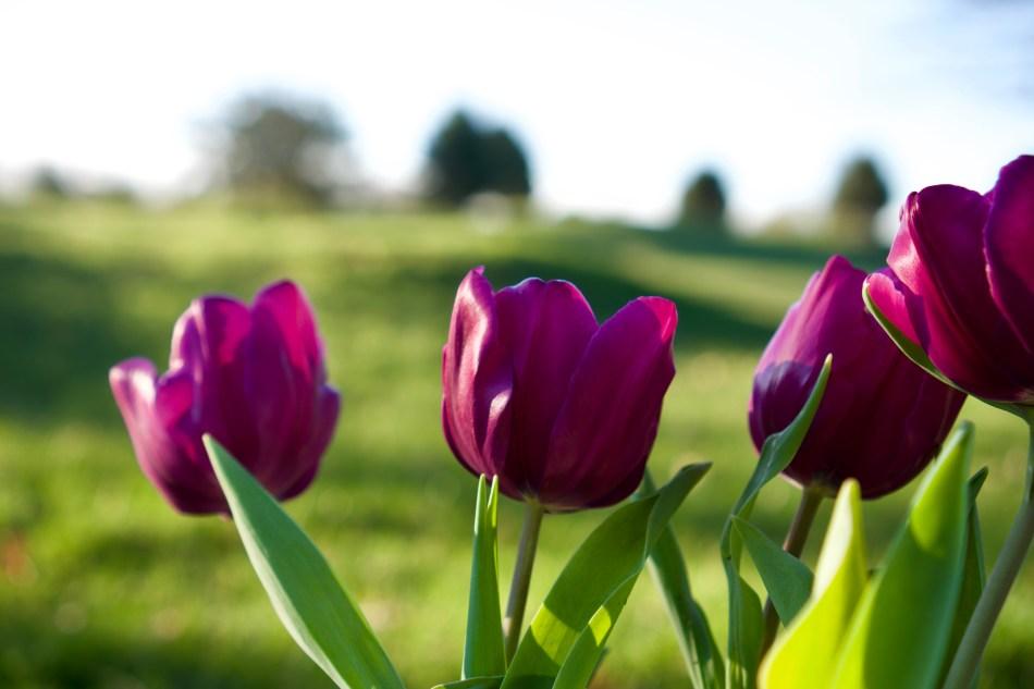 Fuchsia Tulips © 2019 ericarobbin.com   All rights reserved.